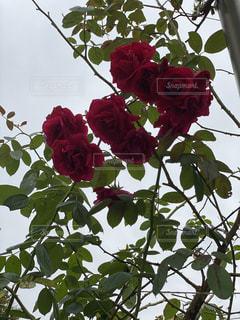 植物の上の赤い花の写真・画像素材[3239354]