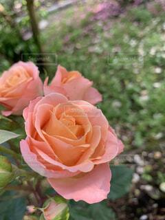 庭に咲くバラの写真・画像素材[4877325]