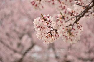 桜の写真・画像素材[3303148]