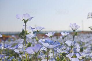 ネモフィラ畑の写真・画像素材[3303176]