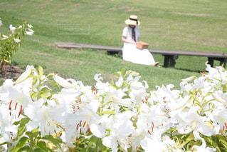 カサブランカの花畑での写真・画像素材[3303316]