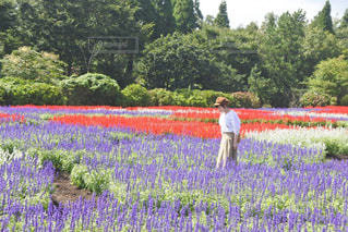 サルビアの花畑での写真・画像素材[3303310]