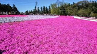 畑に咲く赤い白とピンクの花の写真・画像素材[3228716]