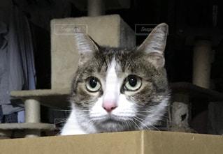 箱の中に座っている灰色と白の猫の写真・画像素材[3226155]