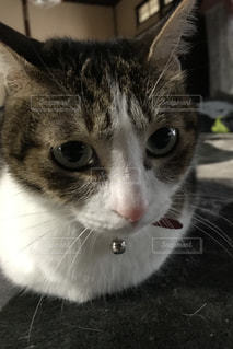 カメラを見ている猫のクローズアップの写真・画像素材[3226158]