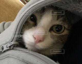 服の中に入れられた猫のクローズアップの写真・画像素材[3226181]