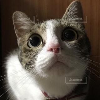 カメラを見ている猫の写真・画像素材[3226284]