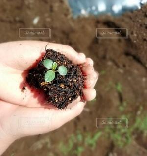 小さな苗を持つ手の写真・画像素材[3228226]
