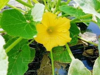 カボチャの花の写真・画像素材[3232993]
