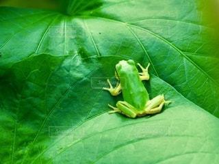 植物の上の緑のカエルの写真・画像素材[3329701]