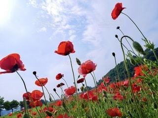 赤い花畑の写真・画像素材[3352103]