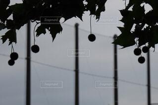 木の実のシルエットの写真・画像素材[3647861]