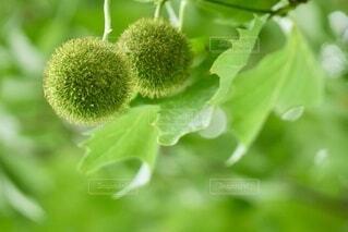木の実クローズアップの写真・画像素材[3647864]