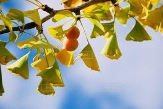 木からぶら下がっている実の写真・画像素材[3809884]