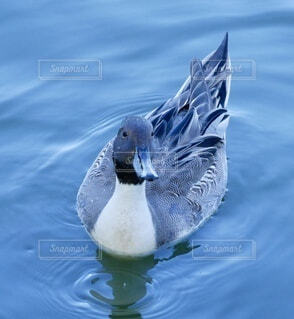水の上を泳ぐ鳥の写真・画像素材[3822113]