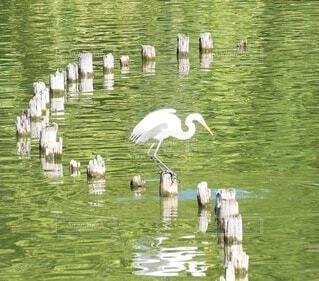白鷺の写真・画像素材[3826853]