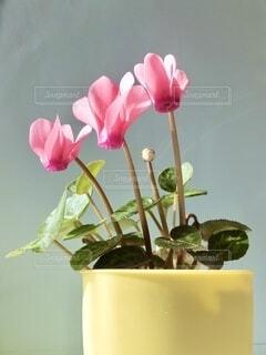 鉢植えのピンクの花の写真・画像素材[3888452]