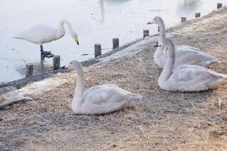 休む白鳥の写真・画像素材[4041471]
