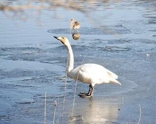 氷の上に立つ白鳥の写真・画像素材[4041470]