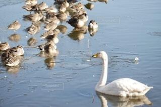 水面の鴨の群れの写真・画像素材[4050549]