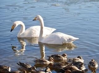 鴨の群れと白鳥の写真・画像素材[4050548]