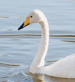 白鳥の写真・画像素材[4057738]