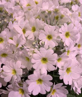 白い花の写真・画像素材[4065826]