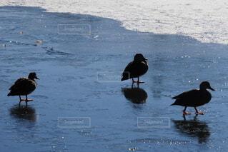 氷の上に立っているカモの群れの写真・画像素材[4076700]