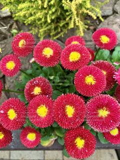 赤い花のクローズアップの写真・画像素材[4286704]