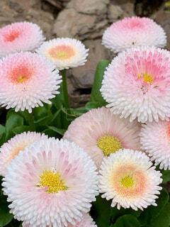 ピンクの花のグループの写真・画像素材[4286706]
