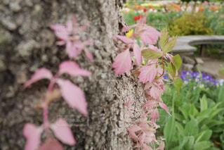 ピンクの葉のクローズアップの写真・画像素材[4374436]