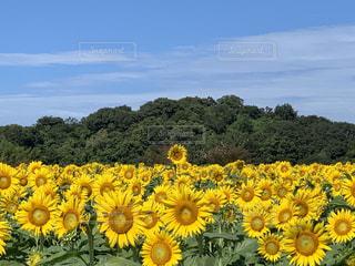 ひまわり畑の写真・画像素材[3228075]