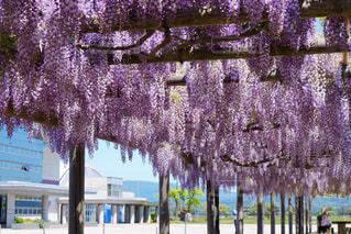 山形県藤島町の藤棚の写真・画像素材[3233373]