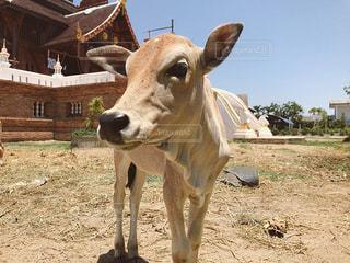 牛と寺院の写真・画像素材[3235141]