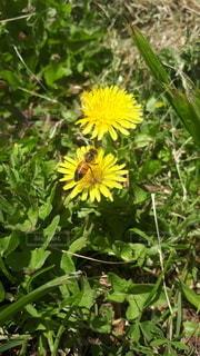 たんぽぽとハチの写真・画像素材[3240260]
