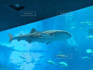 ジンベイザメの写真・画像素材[3246142]