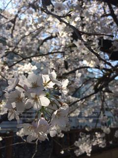 桜、花見。の写真・画像素材[1082180]