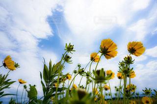 風に揺れるキバナコスモス2の写真・画像素材[3253448]