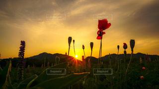夕日に照らされる花の写真・画像素材[3255394]