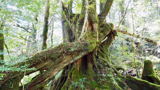 森の中の大きな木の写真・画像素材[3242479]