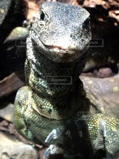 爬虫類の写真・画像素材[133487]