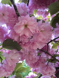 桜のアップの写真・画像素材[3251796]
