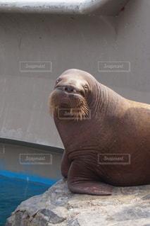 セイウチの笑顔の写真・画像素材[3248520]