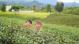 茶畑でひょっこりはんする2人の写真・画像素材[2393138]