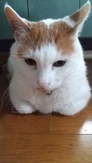 白とオレンジのまったり猫の写真・画像素材[3249613]