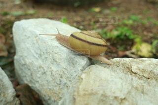 岩の上に座っているカタツムリの写真・画像素材[3422991]