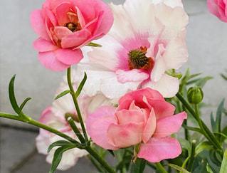 ピンクの花の写真・画像素材[3250782]