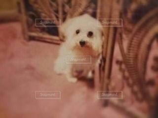 犬の写真・画像素材[136566]