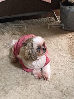 カーペットに横たわっているシーズー犬の写真・画像素材[1103794]