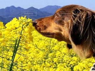 大地に広がる菜の花畑と犬の写真・画像素材[3258304]
